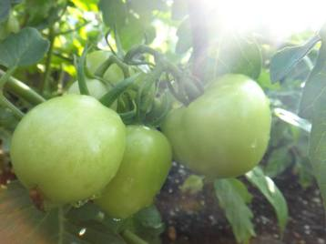 These tomatoes, from UMD's Community Rooftop Garden, will have a chance  to ripen on the vine.